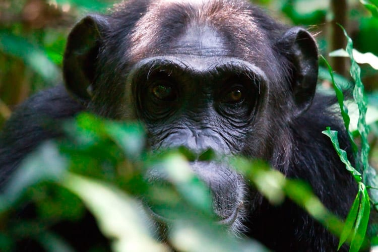 Chimpansee trekkings in Kibale Forest National Par