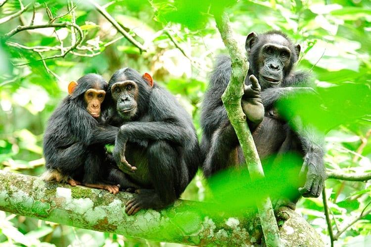 Chimpansees in het Kibale Forest National Park