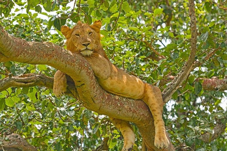 Eén van de boom-klimmende leeuwen in het Queen Elizabeth National Park