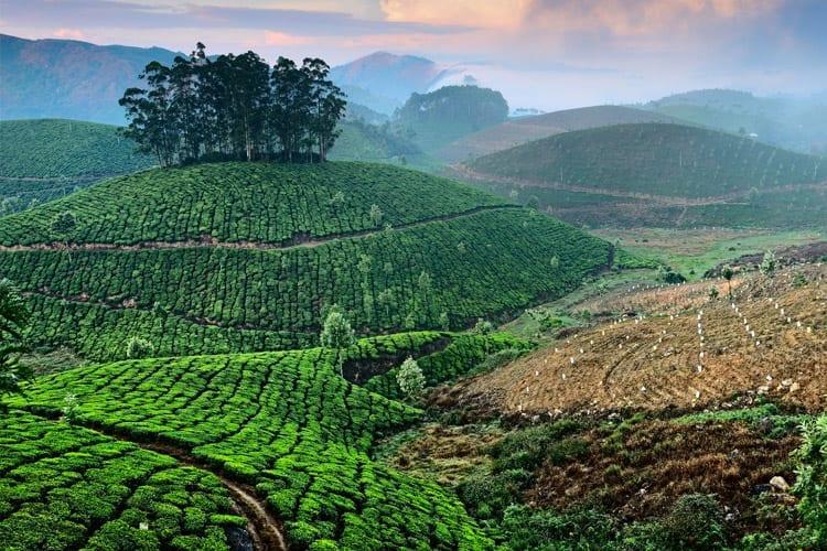 Munnar theevelden