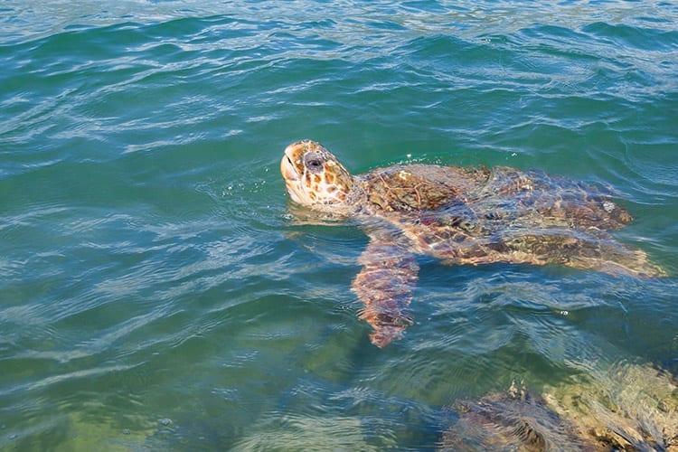 Caretta Caretta schildpadden, Zakynthos