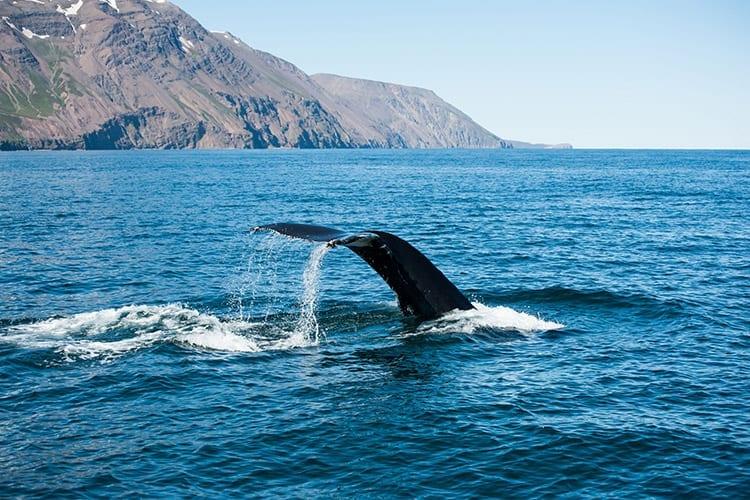 Húsavík walvissen