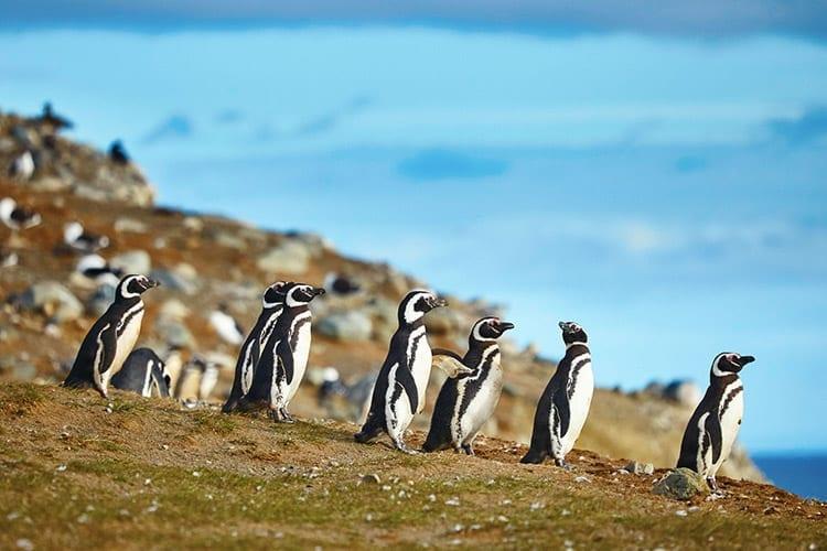 Pinguïnkolonie op Magdalena eiland