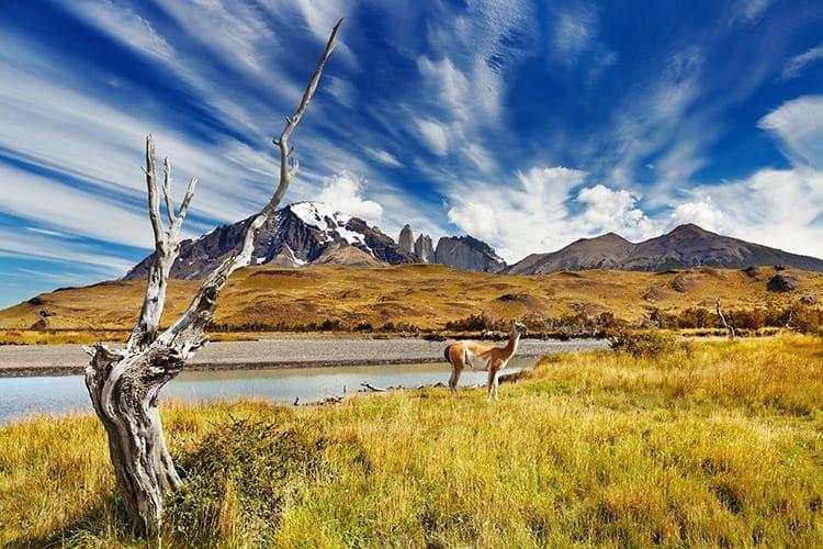 Lama in Torres del Paine