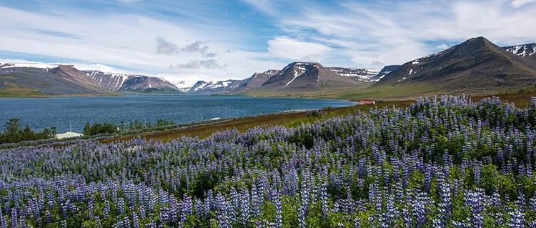 Þingeyri schiereiland