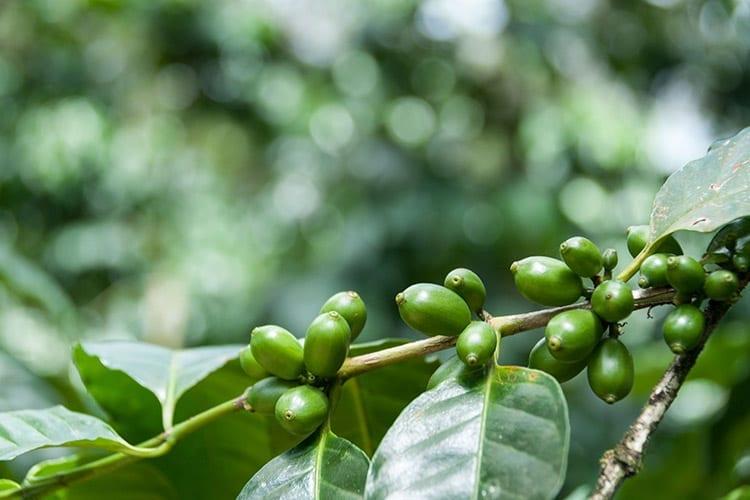 Koffiebonen plantage bij Matagalpa