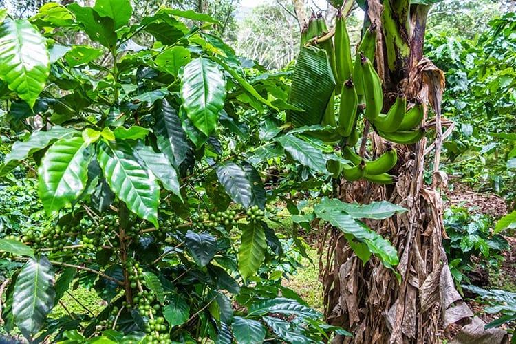 Koffieplantages, Boquete