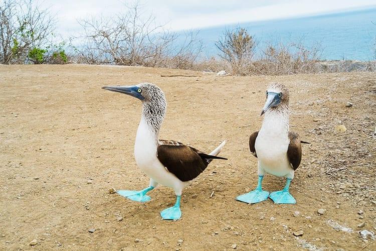 Blauwvoetgenten op Isla de la Plata