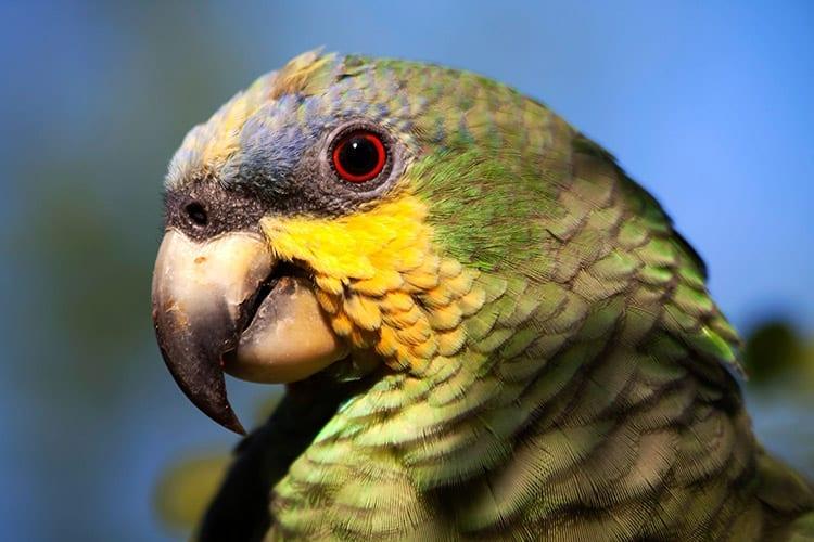 Yasuní National Park papegaai