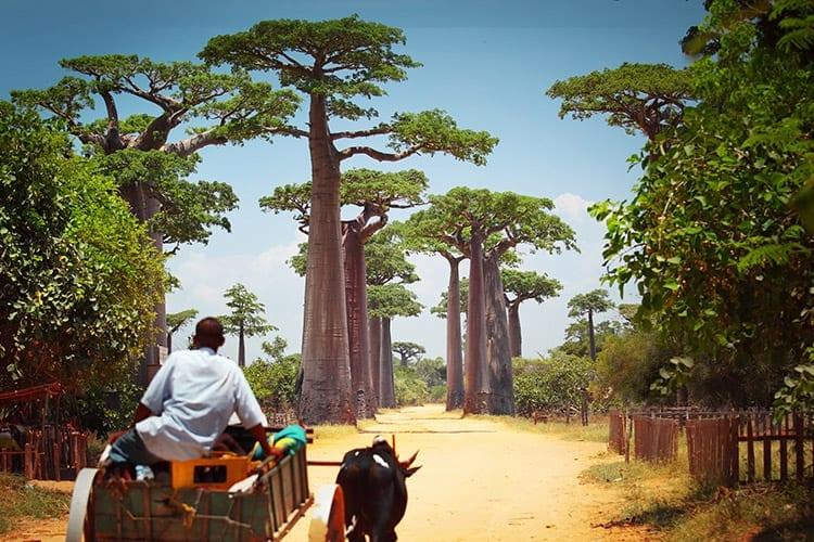 Allée des Baobabs, Madagaskar
