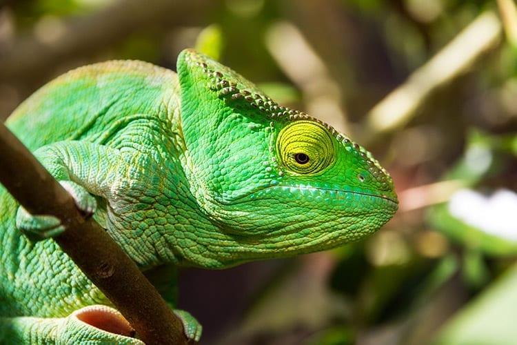 Parsons Kameleon, Madagaskar