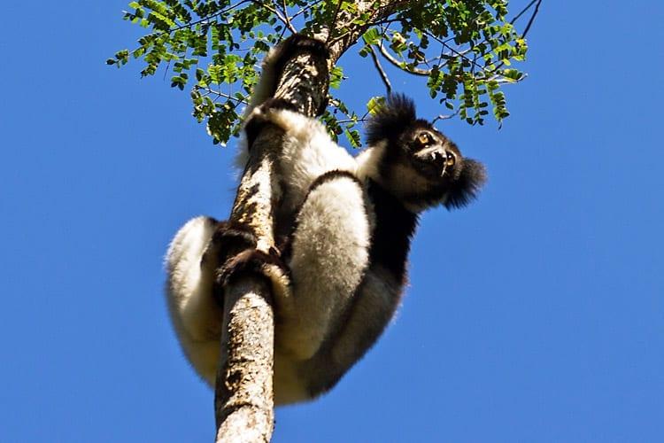Indri Indri lemuur, Madagaskar