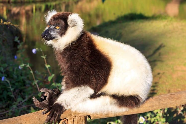 wart-wit ruffed Maki, Madagaskar