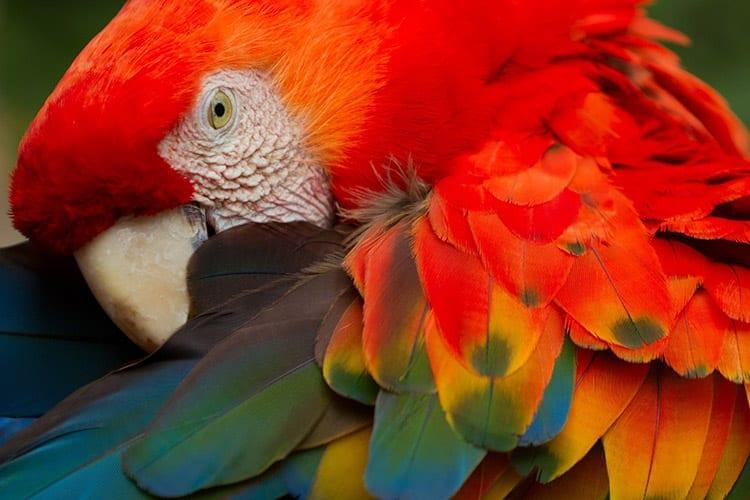 Papegaai in de Amazone