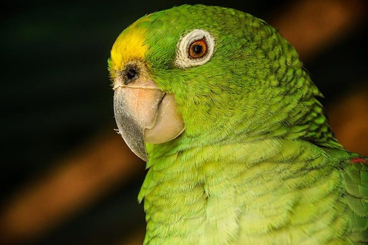 Papegaai in het Tayrona National Park