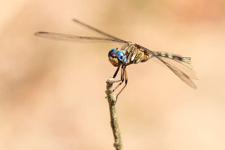 Libelle in het Isalo National Park