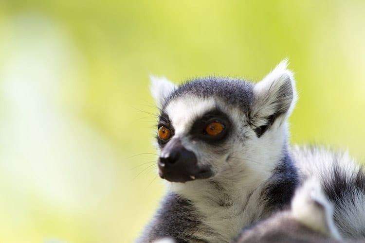Muis lemuur in het Ranomafana National Park