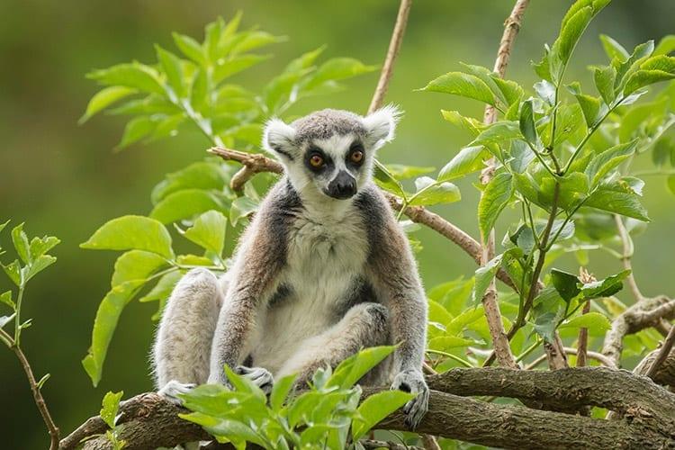 Ringstaart Maki, Madagaskar