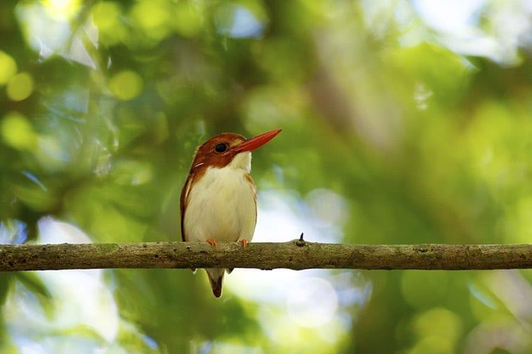 Kingfisher, Ttsingy de Bemaraha