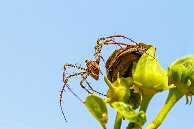 Lynx Spider, Tsingy de Bemaraha