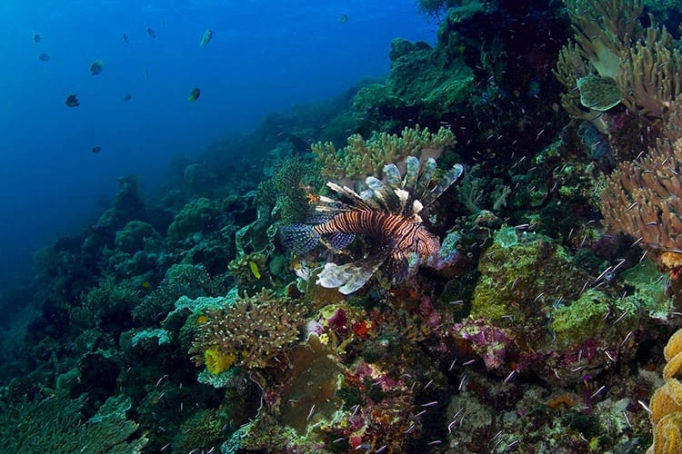 Koraal rif en een lionfish bij Wakatobi