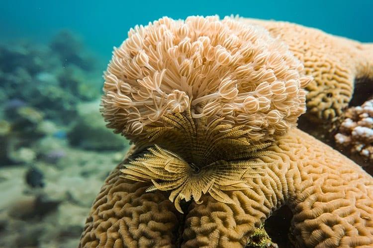 Akaba koraal