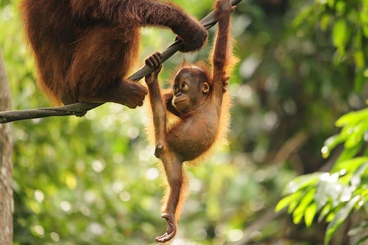 Orang-oetans in Borneo
