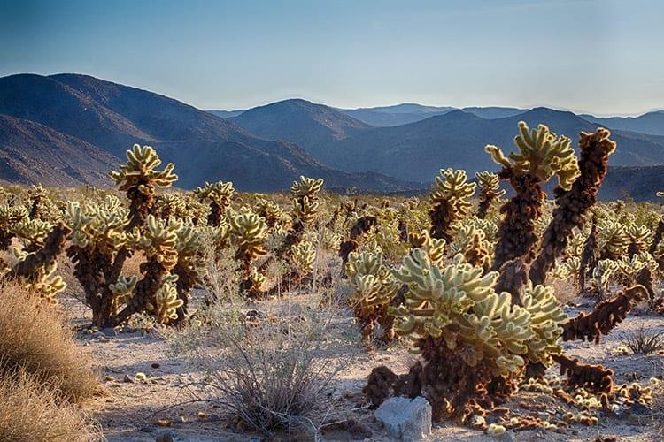 Cholla Cactus Garden, Joshua Tree National Park