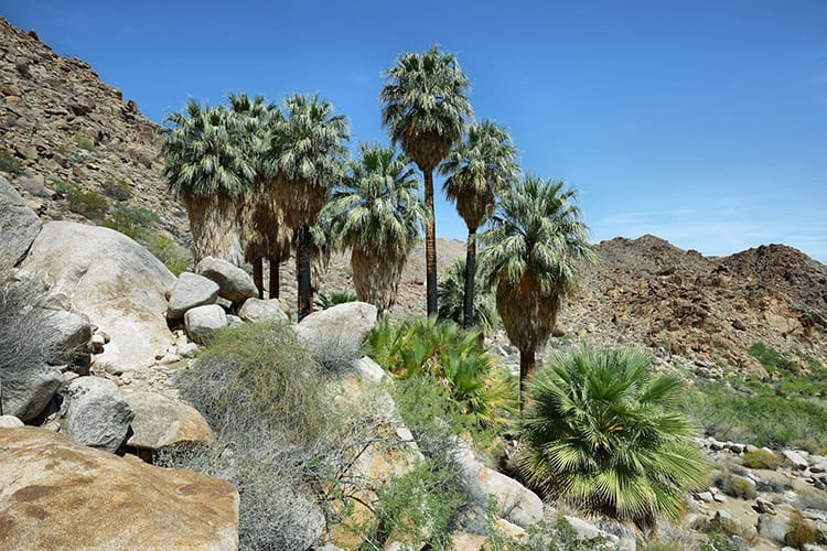 Lost Palm Oasis, Joshua Tree National Park