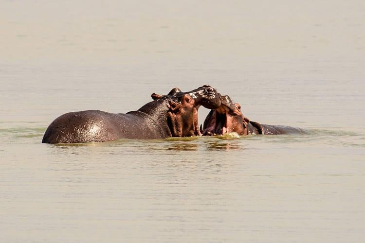 Gambia Rivier nijlpaarden