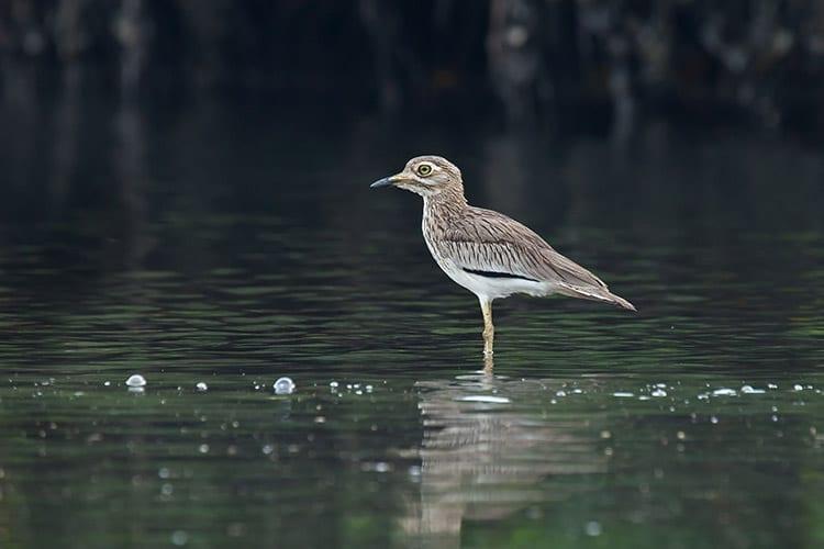 Gambia Rivier vogels