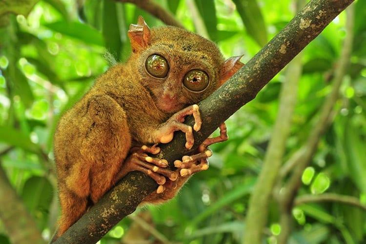 Tarsier aapje, Belitung