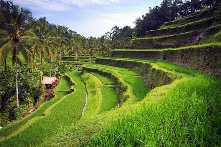 Tegallalang rijstterrassen, Ubud