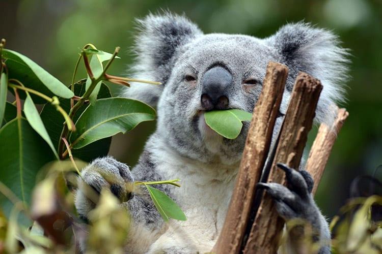 Koala Lone Pine Sanctuary, Brisbane