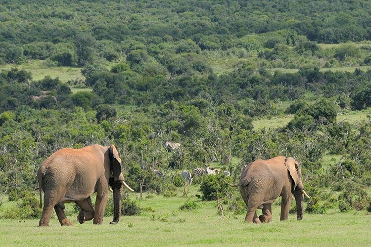 Addo Elephant Park, Zuid-Afrika