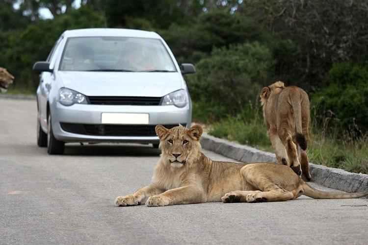 Leeuwen in het Addo Elephant National Park