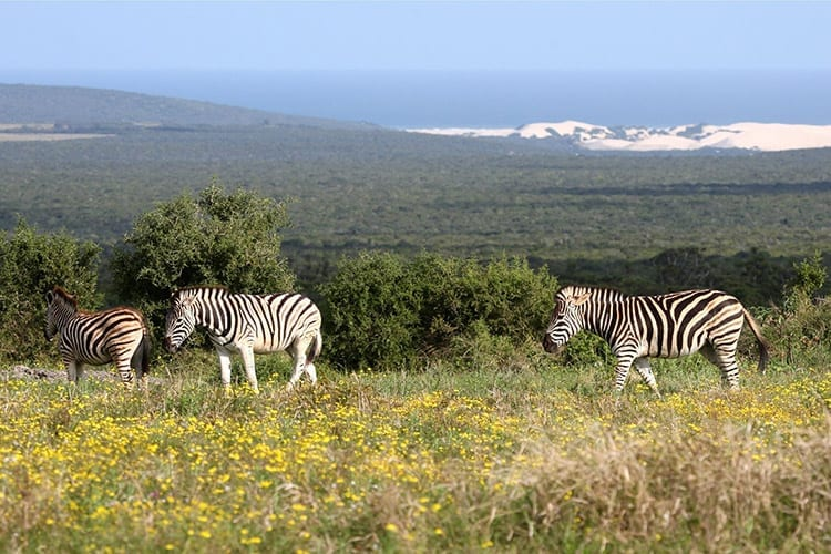 Zebra's in het Addo Elephant National Park