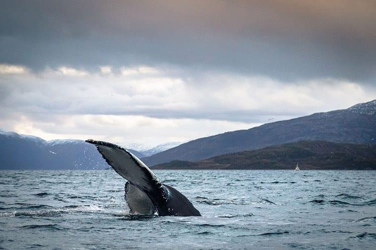 Tromsø walvissen