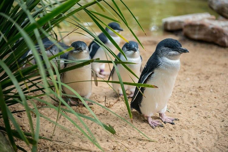 Philip Island, Australië