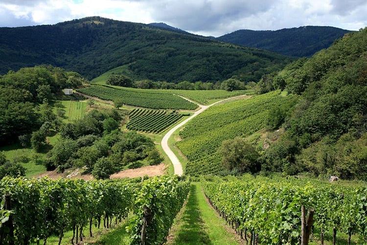 Elzas wijngaard