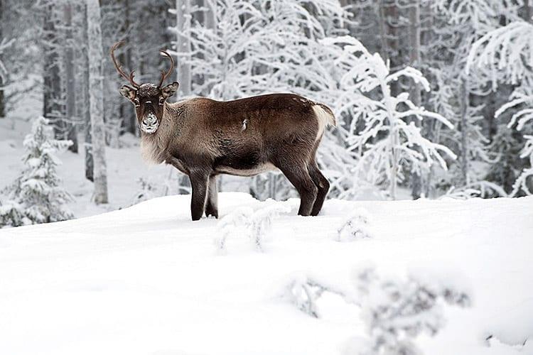 Rendier in Zweeds Lapland