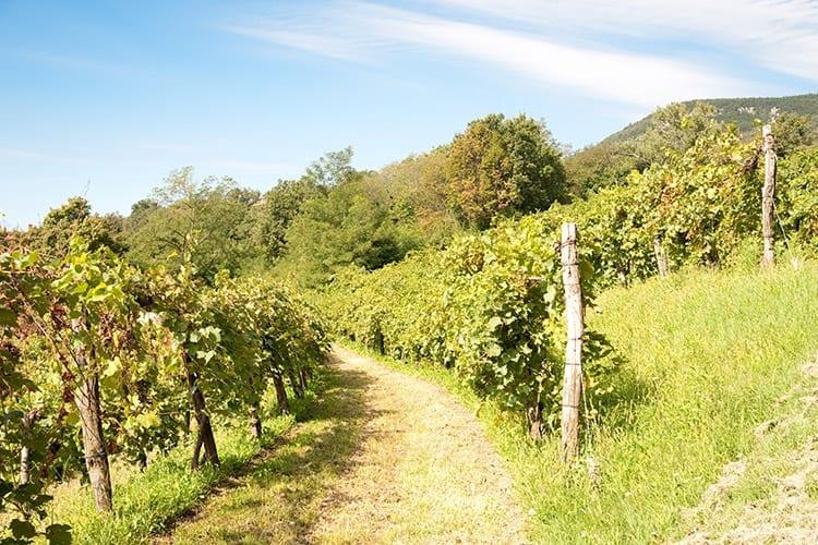Vipava Valley wijngaarden