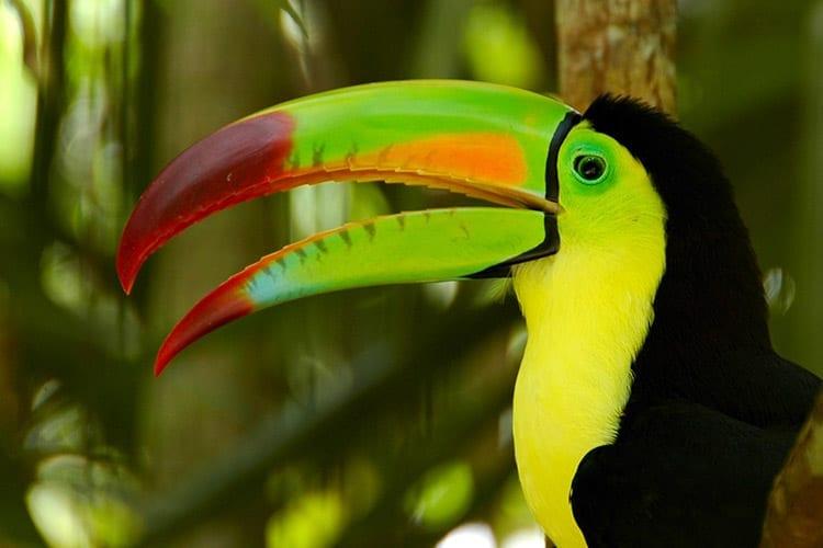 Tucan in Belize