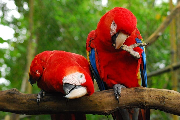 Ara in Belize Zoo