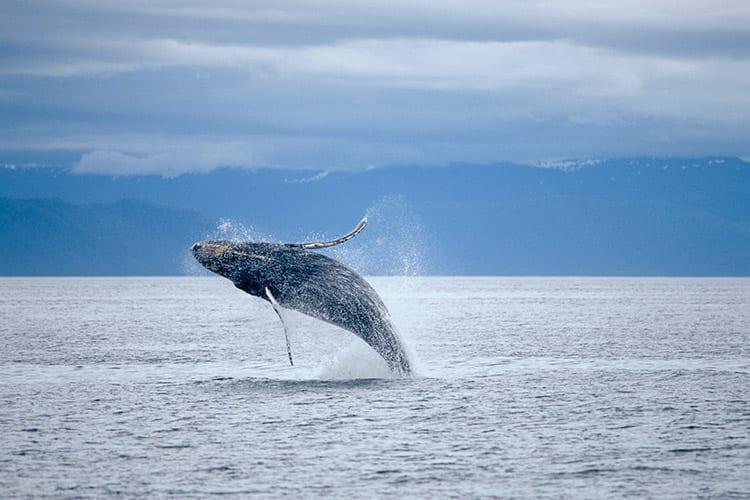 Walvis in Alaska