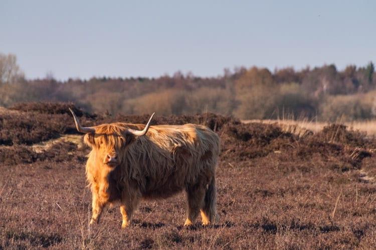 Schotse hooglander, Drenthe